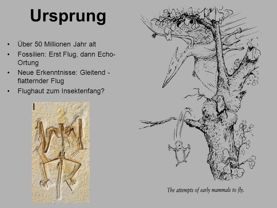 Ursprung Über 50 Millionen Jahr alt Fossilien: Erst Flug, dann Echo- Ortung Neue Erkenntnisse: Gleitend - flatternder Flug Flughaut zum Insektenfang?