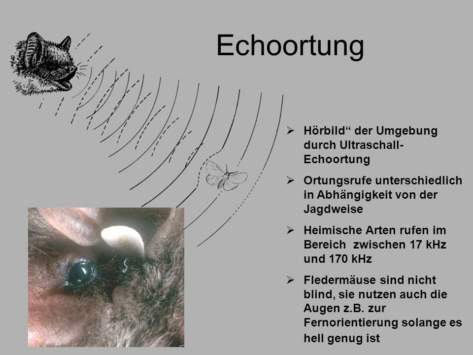 Echoortung Hörbild der Umgebung durch Ultraschall- Echoortung Ortungsrufe unterschiedlich in Abhängigkeit von der Jagdweise Heimische Arten rufen im B