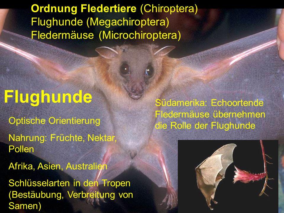 Flughunde Optische Orientierung Nahrung: Früchte, Nektar, Pollen Afrika, Asien, Australien Schlüsselarten in den Tropen (Bestäubung, Verbreitung von S