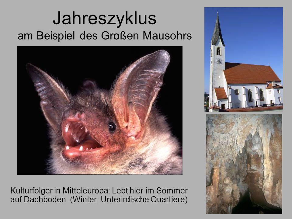 Mithilfe beim Fledermausschutz in Bayern Zwei Koordinationsstellen für Fledermausschutz: Universität Erlangen (Nordbayern) Universität München (Südbayern) In fast allen Landkreisen aktive ehrenamtliche Fledermausschützer