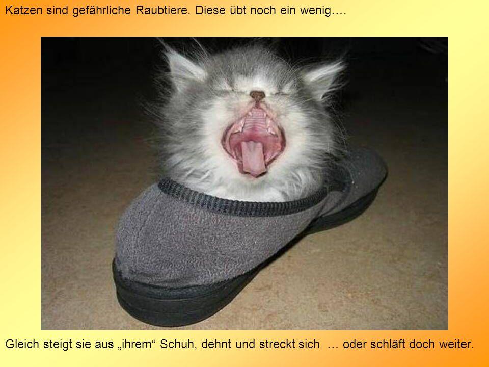 Katzen sind gefährliche Raubtiere. Diese übt noch ein wenig…. Gleich steigt sie aus ihrem Schuh, dehnt und streckt sich … oder schläft doch weiter.