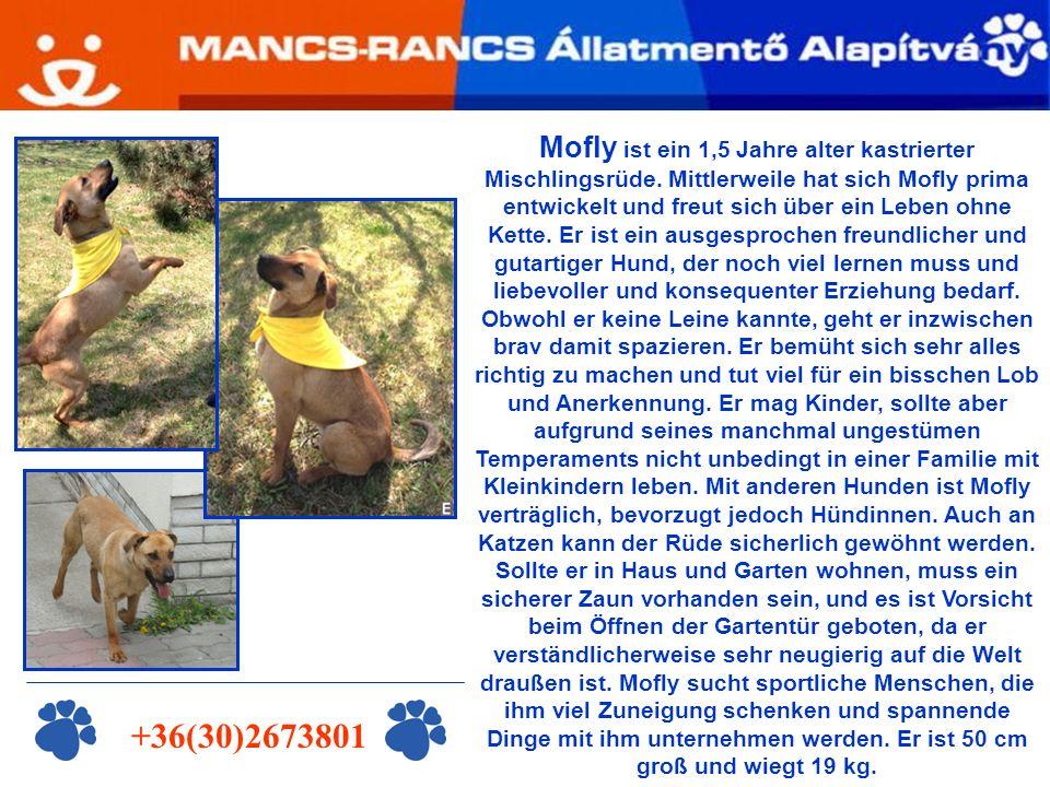 +36(30)2673801 Mofly ist ein 1,5 Jahre alter kastrierter Mischlingsrüde.