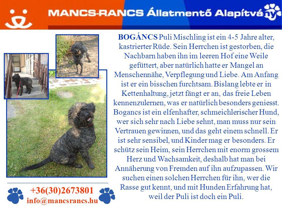 BOGÁNCS Puli Mischling ist ein 4-5 Jahre alter, kastrierter Rüde.