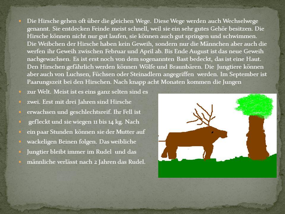 Die Hirsche gehen oft über die gleichen Wege. Diese Wege werden auch Wechselwege genannt. Sie entdecken Feinde meist schnell, weil sie ein sehr gutes