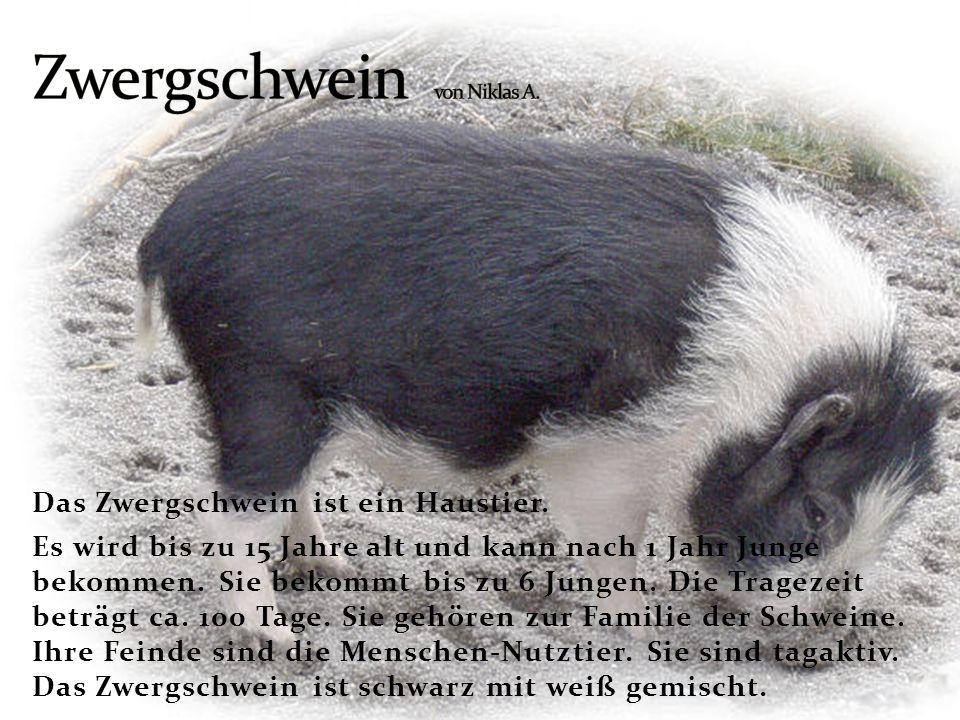 Das Zwergschwein ist ein Haustier. Es wird bis zu 15 Jahre alt und kann nach 1 Jahr Junge bekommen. Sie bekommt bis zu 6 Jungen. Die Tragezeit beträgt