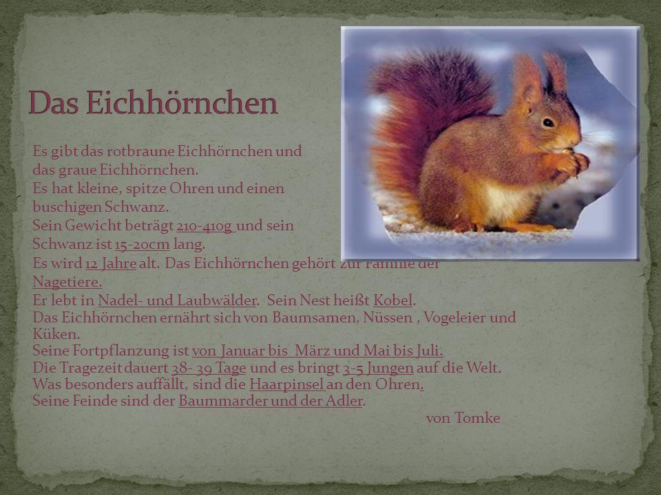 Es gibt das rotbraune Eichhörnchen und das graue Eichhörnchen. Es hat kleine, spitze Ohren und einen buschigen Schwanz. Sein Gewicht beträgt 210-410g
