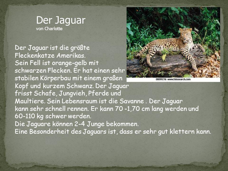Der Jaguar von Charlotte Der Jaguar ist die größte Fleckenkatze Amerikas. Sein Fell ist orange-gelb mit schwarzen Flecken. Er hat einen sehr stabilen