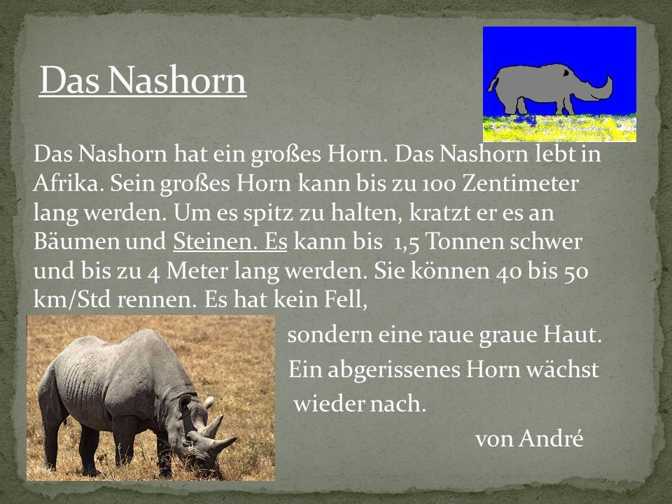Das Nashorn hat ein großes Horn. Das Nashorn lebt in Afrika. Sein großes Horn kann bis zu 100 Zentimeter lang werden. Um es spitz zu halten, kratzt er