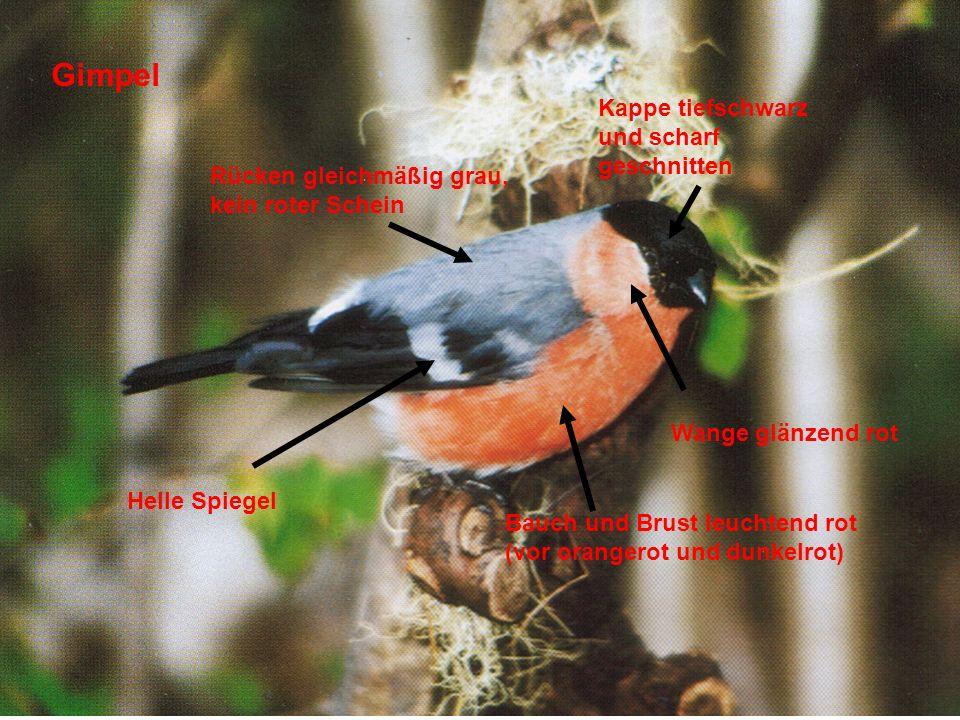 Gimpel Bauch und Brust leuchtend rot (vor orangerot und dunkelrot) Kappe tiefschwarz und scharf geschnitten Helle Spiegel Rücken gleichmäßig grau, kei