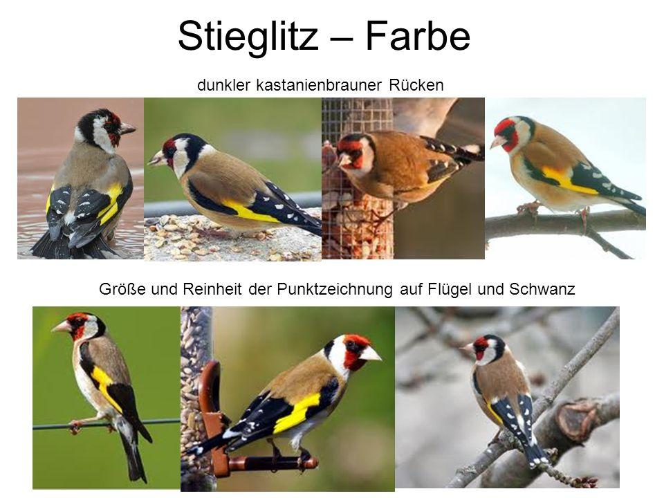 Stieglitz – Farbe Größe und Reinheit der Punktzeichnung auf Flügel und Schwanz dunkler kastanienbrauner Rücken
