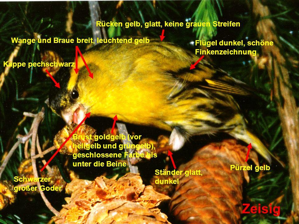 Zeisig Brust goldgelb (vor hellgelb und grüngelb), geschlossene Farbe bis unter die Beine Pürzel gelb Kappe pechschwarz Wange und Braue breit, leuchte