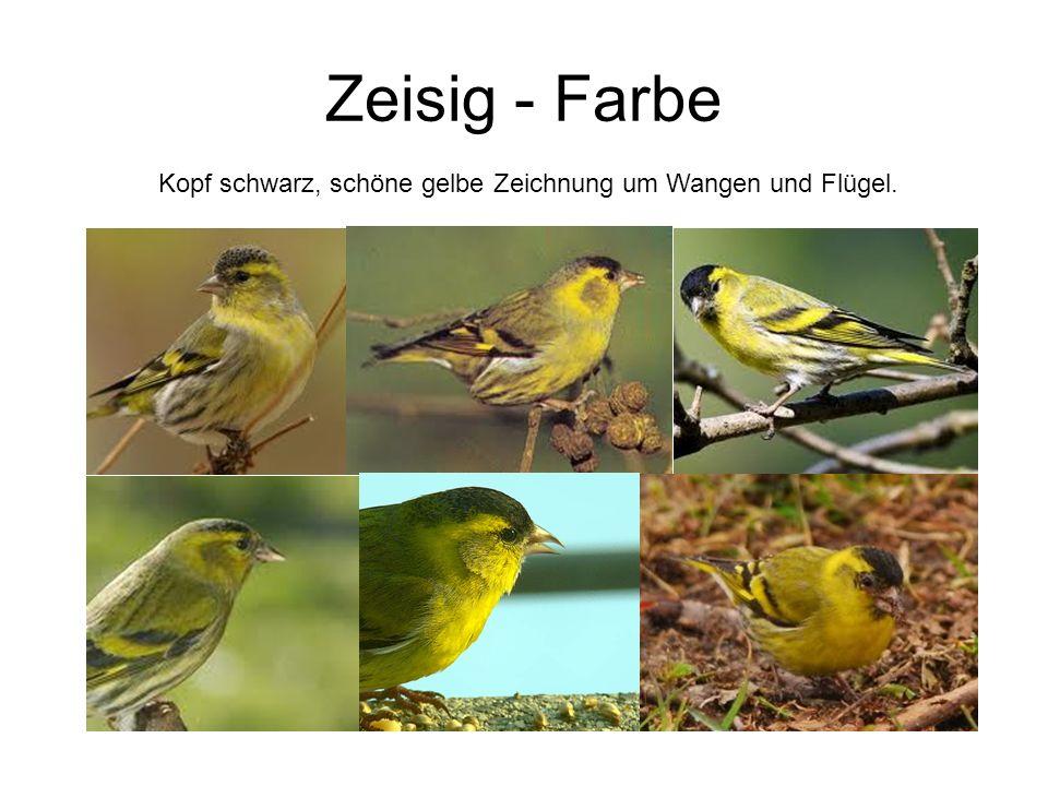 Zeisig - Farbe Kopf schwarz, schöne gelbe Zeichnung um Wangen und Flügel.