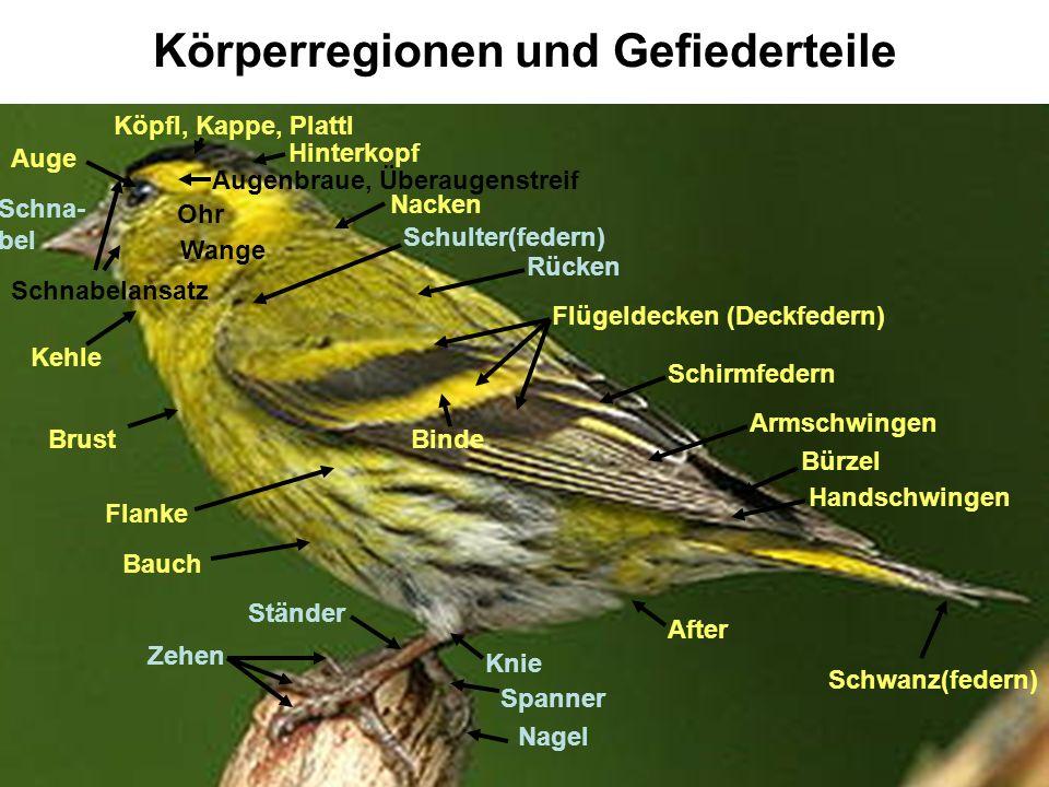 Falscher Vogel Grundsätzlich dürfen nur frisch gefangene Männchen der Gattungen (roter) Fichtenkreuzschnabel, Gimpel, Stieglitz und Erlenzeisig in die Wertung kommen.