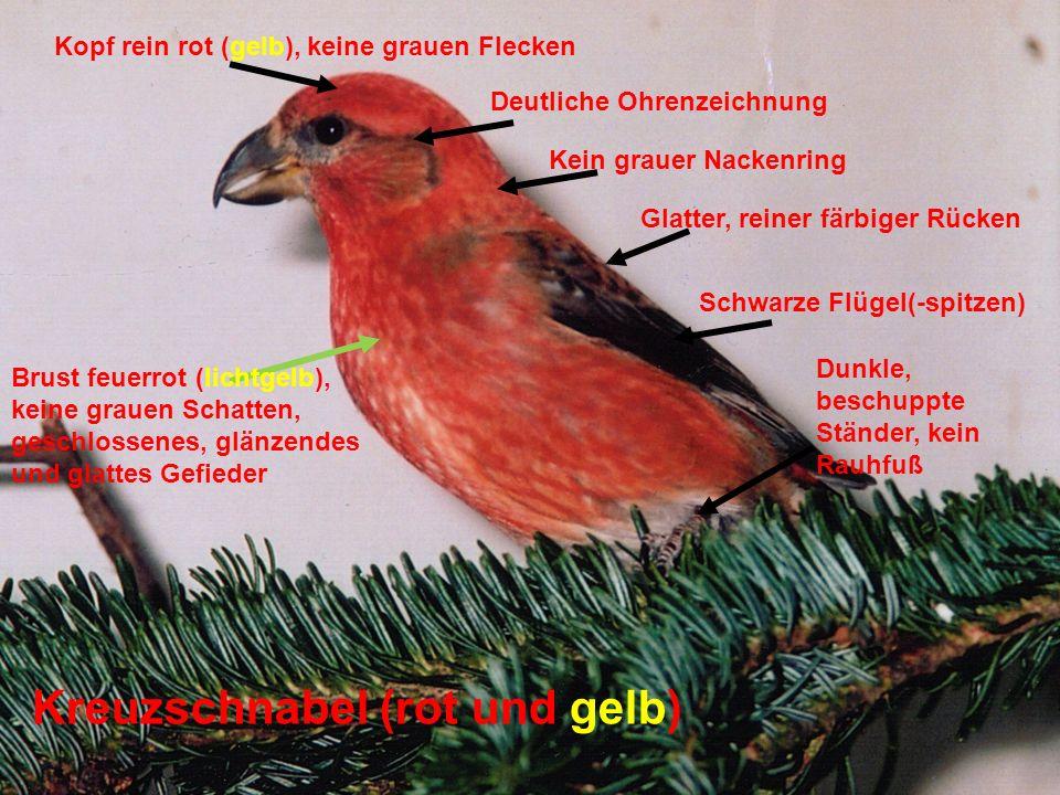 Kreuzschnabel (rot und gelb) Brust feuerrot (lichtgelb), keine grauen Schatten, geschlossenes, glänzendes und glattes Gefieder Kopf rein rot (gelb), k