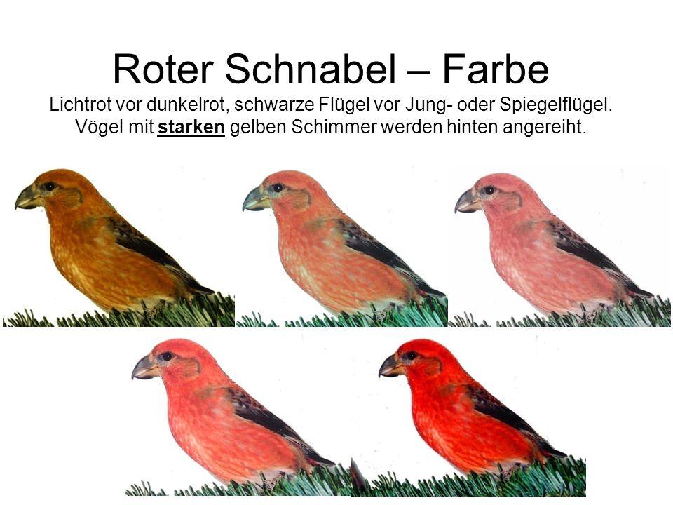 Roter Schnabel – Farbe Lichtrot vor dunkelrot, schwarze Flügel vor Jung- oder Spiegelflügel. Vögel mit starken gelben Schimmer werden hinten angereiht