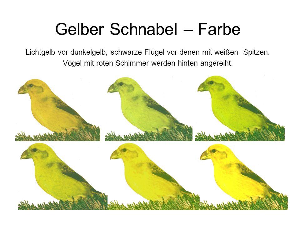 Gelber Schnabel – Farbe Lichtgelb vor dunkelgelb, schwarze Flügel vor denen mit weißen Spitzen. Vögel mit roten Schimmer werden hinten angereiht.