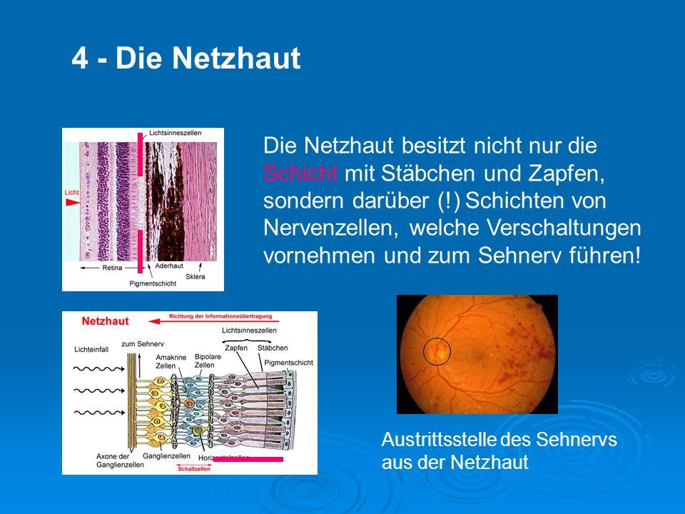 Die Netzhaut besitzt nicht nur die Schicht mit Stäbchen und Zapfen, sondern darüber (!) Schichten von Nervenzellen, welche Verschaltungen vornehmen und zum Sehnerv führen.