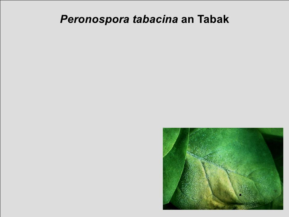 verändert, nach Spring, Uni Hohenheim Meist lokale, weniger systemische Infektion Oosporen beschrieben, aber seltenst gefunden Primäre Infektionsquelle unsicher Infektionszyklus von Peronospora tabacina Life cycle of Peronospora tabacina