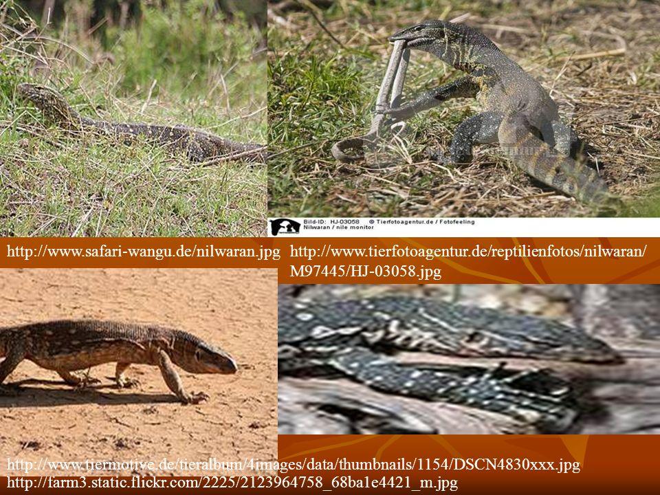 http://farm3.static.flickr.com/2225/2123964758_68ba1e4421_m.jpg http://www.safari-wangu.de/nilwaran.jpghttp://www.tierfotoagentur.de/reptilienfotos/ni