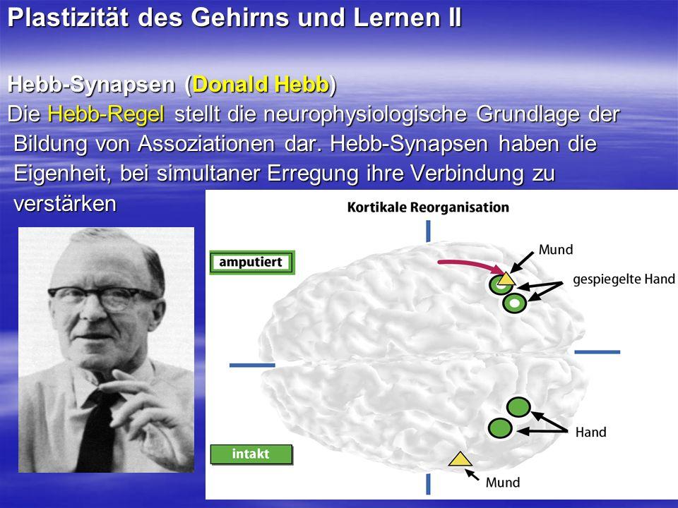 Plastizität des Gehirns und Lernen II Hebb-Synapsen (Donald Hebb) Die Hebb-Regel stellt die neurophysiologische Grundlage der Bildung von Assoziatione