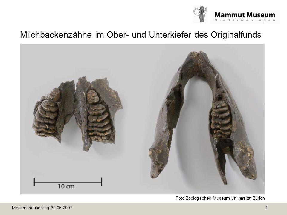 Medienorientierung 30.05.2007 4 Milchbackenzähne im Ober- und Unterkiefer des Originalfunds Foto Zoologisches Museum Universität Zürich