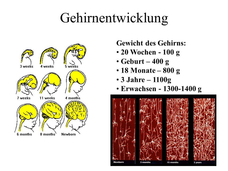 Gehirnentwicklung Gewicht des Gehirns: 20 Wochen - 100 g Geburt – 400 g 18 Monate – 800 g 3 Jahre – 1100g Erwachsen - 1300-1400 g