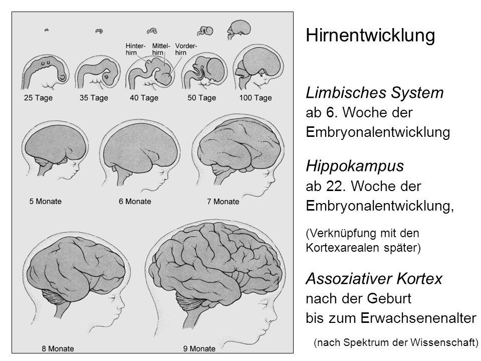 Hirnentwicklung Limbisches System ab 6. Woche der Embryonalentwicklung Hippokampus ab 22. Woche der Embryonalentwicklung, (Verknüpfung mit den Kortexa