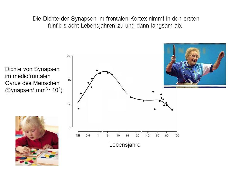 Die Dichte der Synapsen im frontalen Kortex nimmt in den ersten fünf bis acht Lebensjahren zu und dann langsam ab. Dichte von Synapsen im mediofrontal