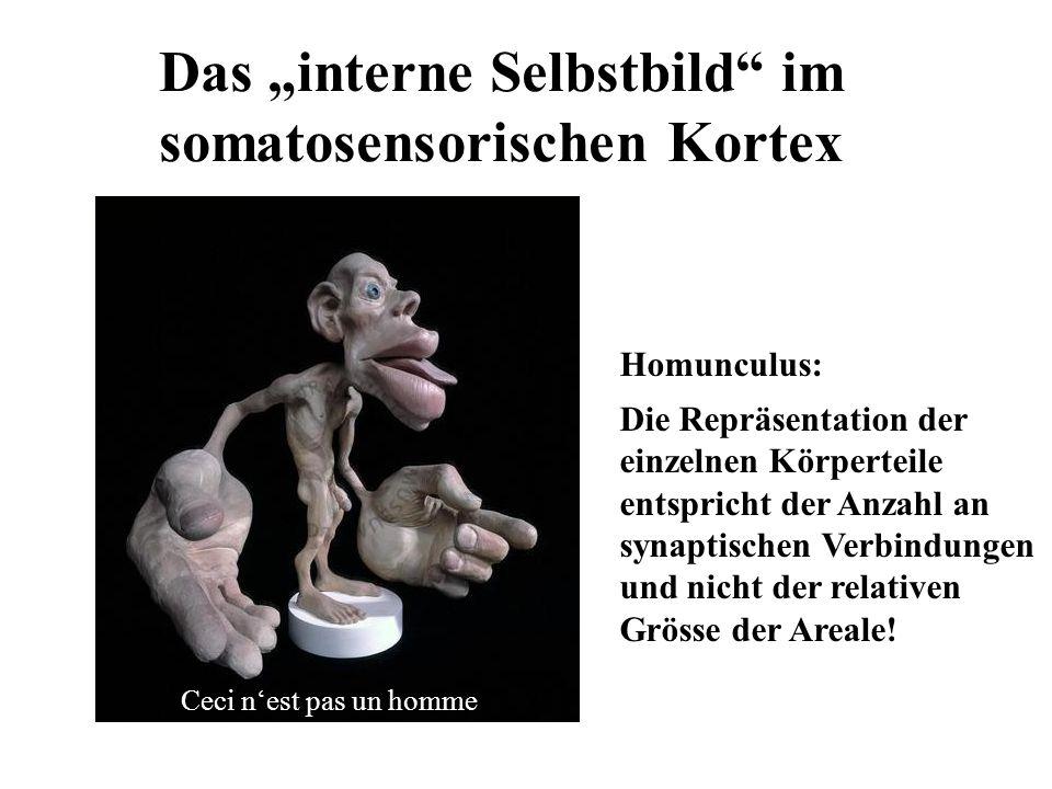 Das interne Selbstbild im somatosensorischen Kortex Homunculus: Die Repräsentation der einzelnen Körperteile entspricht der Anzahl an synaptischen Ver