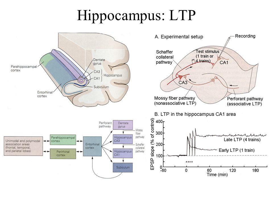 Hippocampus: LTP