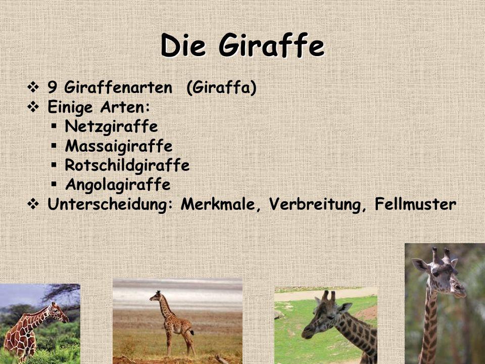 Die Giraffe 9 Giraffenarten (Giraffa) Einige Arten: Netzgiraffe Massaigiraffe Rotschildgiraffe Angolagiraffe Unterscheidung: Merkmale, Verbreitung, Fe