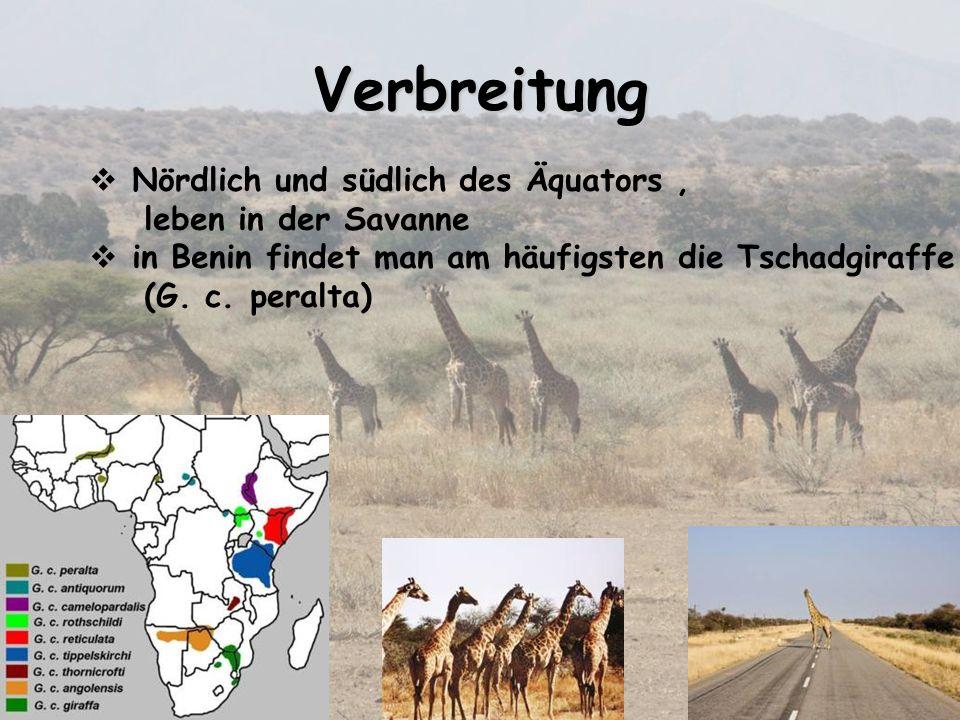 Nördlich und südlich des Äquators, leben in der Savanne in Benin findet man am häufigsten die Tschadgiraffe (G. c. peralta) Verbreitung