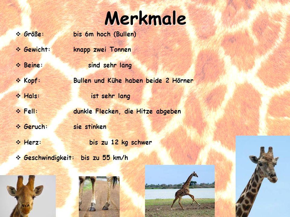 Größe: bis 6m hoch (Bullen) Gewicht: knapp zwei Tonnen Beine: sind sehr lang Kopf: Bullen und Kühe haben beide 2 Hörner Hals: ist sehr lang Fell:dunkl