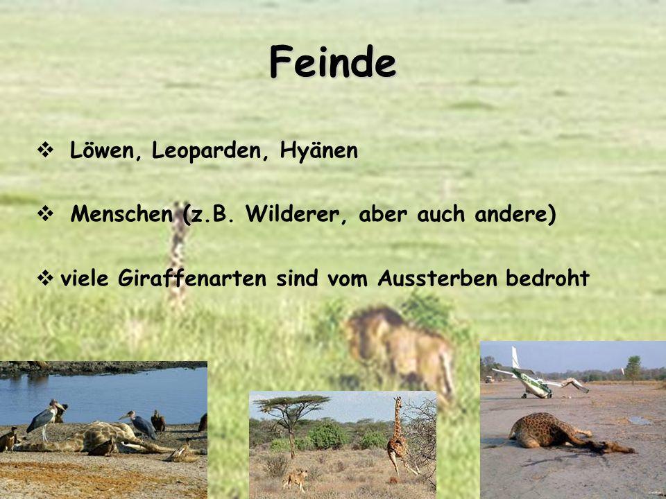 Feinde Löwen, Leoparden, Hyänen Menschen (z.B. Wilderer, aber auch andere) viele Giraffenarten sind vom Aussterben bedroht