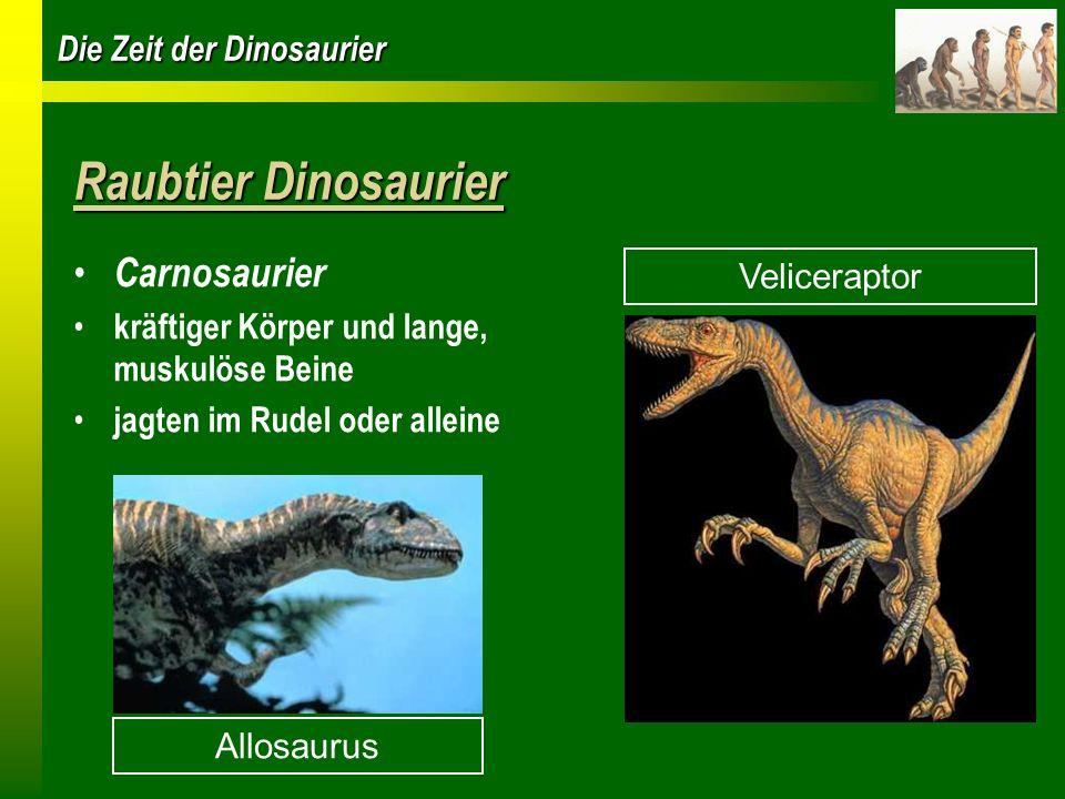 Die Zeit der Dinosaurier Raubtier Dinosaurier Carnosaurier kräftiger Körper und lange, muskulöse Beine jagten im Rudel oder alleine Allosaurus Velicer