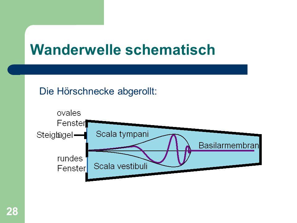 27 Die Ohrschnecke - Basilarmembran Schnecke unter Sinustonreizung Wanderwelle pflanzt sich von der Basis zum Helicotrema auf Basilarmembran fort. Im