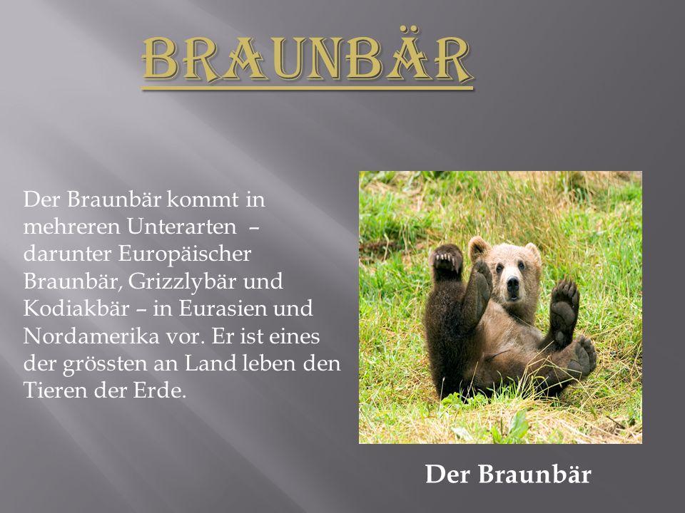 Der Braunbär kommt in mehreren Unterarten – darunter Europäischer Braunbär, Grizzlybär und Kodiakbär – in Eurasien und Nordamerika vor.