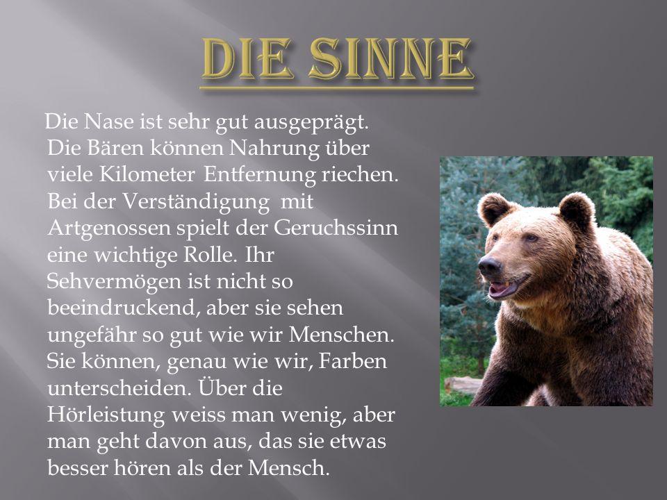 Die Nase ist sehr gut ausgeprägt.Die Bären können Nahrung über viele Kilometer Entfernung riechen.
