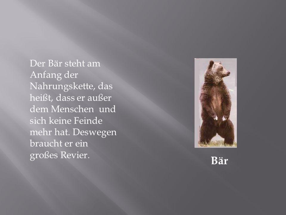 Bär Der Bär steht am Anfang der Nahrungskette, das heißt, dass er außer dem Menschen und sich keine Feinde mehr hat.