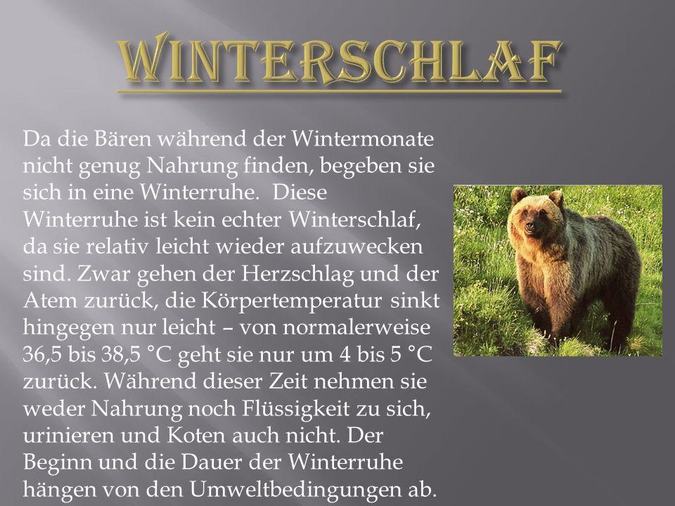 Da die Bären während der Wintermonate nicht genug Nahrung finden, begeben sie sich in eine Winterruhe.