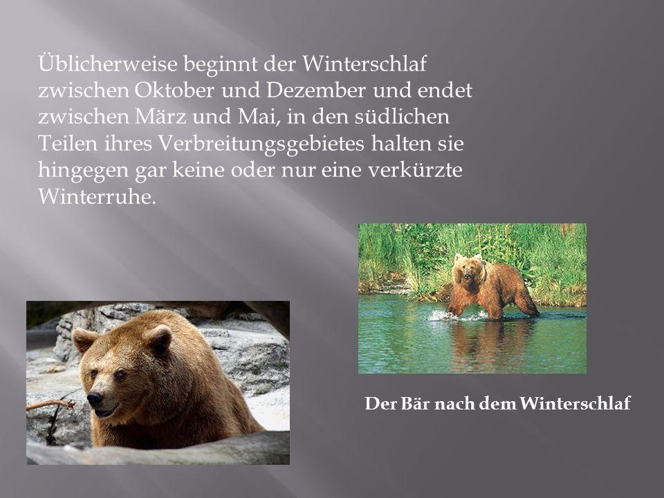 Üblicherweise beginnt der Winterschlaf zwischen Oktober und Dezember und endet zwischen März und Mai, in den südlichen Teilen ihres Verbreitungsgebietes halten sie hingegen gar keine oder nur eine verkürzte Winterruhe.