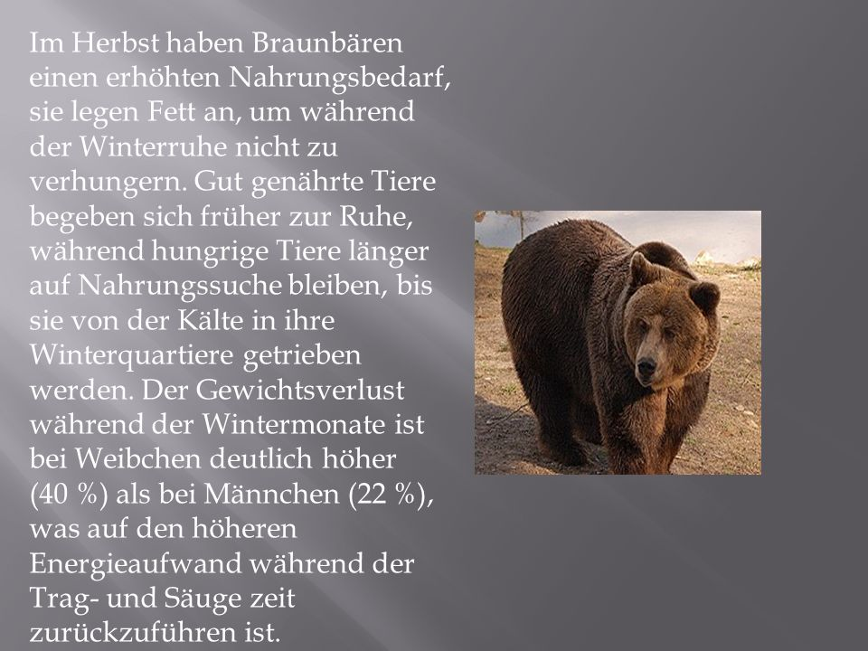 Im Herbst haben Braunbären einen erhöhten Nahrungsbedarf, sie legen Fett an, um während der Winterruhe nicht zu verhungern.