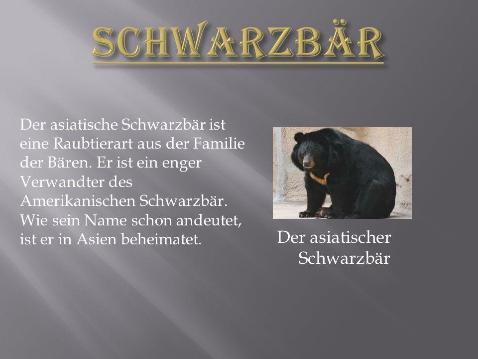 Der asiatische Schwarzbär ist eine Raubtierart aus der Familie der Bären.