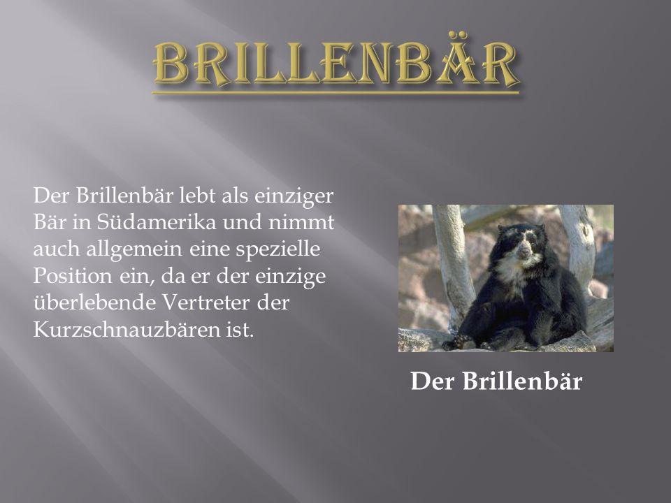Der Brillenbär Der Brillenbär lebt als einziger Bär in Südamerika und nimmt auch allgemein eine spezielle Position ein, da er der einzige überlebende Vertreter der Kurzschnauzbären ist.
