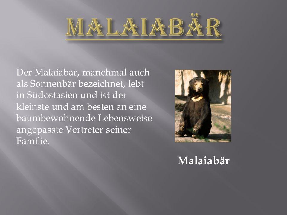 Malaiabär Der Malaiabär, manchmal auch als Sonnenbär bezeichnet, lebt in Südostasien und ist der kleinste und am besten an eine baumbewohnende Lebensweise angepasste Vertreter seiner Familie.