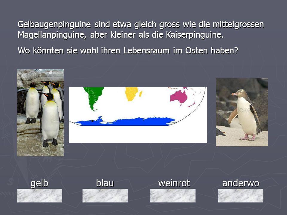 gelbblauweinrotanderwo Gelbaugenpinguine sind etwa gleich gross wie die mittelgrossen Magellanpinguine, aber kleiner als die Kaiserpinguine. Wo könnte