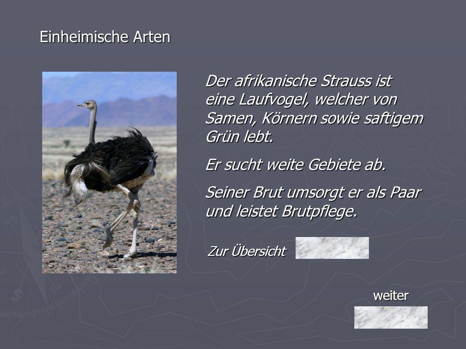 weiter Einheimische Arten Der afrikanische Strauss ist eine Laufvogel, welcher von Samen, Körnern sowie saftigem Grün lebt. Er sucht weite Gebiete ab.