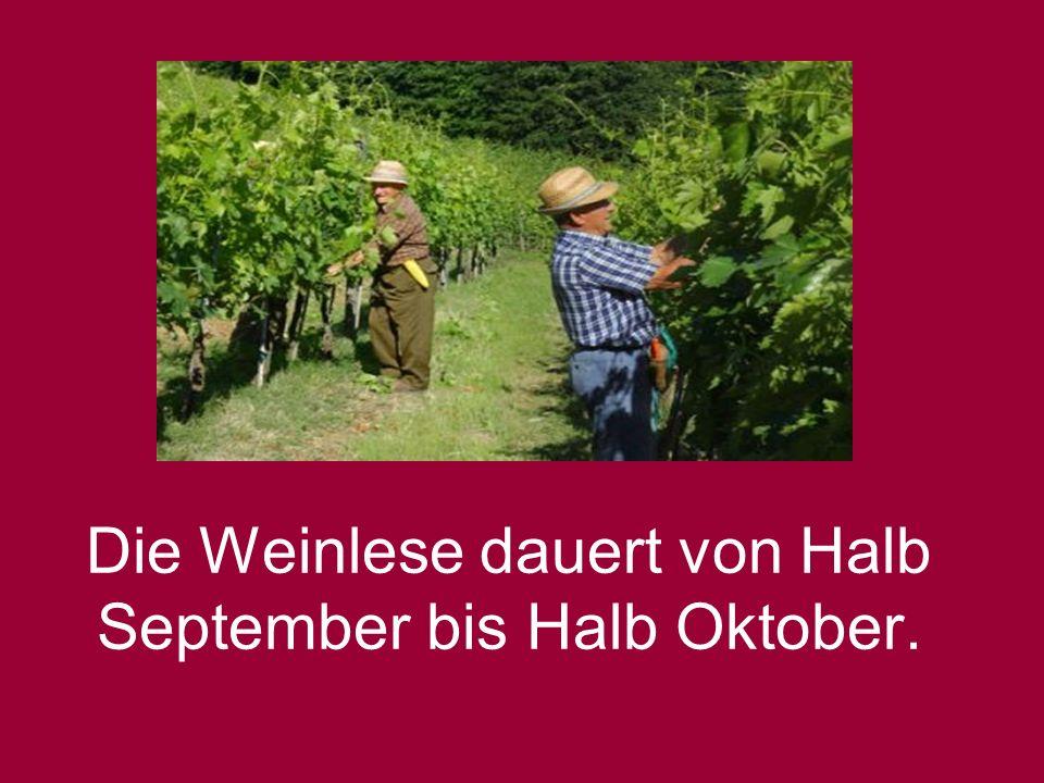 Die Weinlese dauert von Halb September bis Halb Oktober.