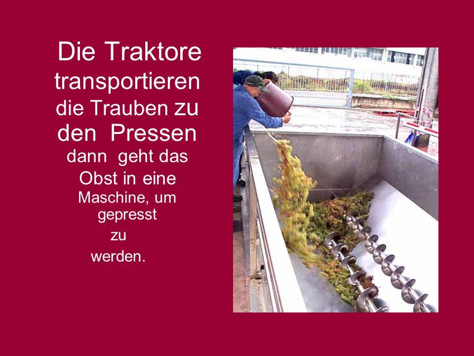 Die Traktore transportieren die Trauben zu den Pressen dann geht das Obst in eine Maschine, um gepresst zu werden.