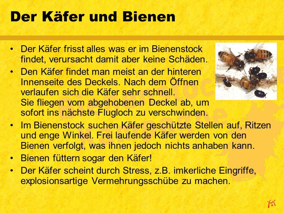 Der Käfer und Bienen Der Käfer frisst alles was er im Bienenstock findet, verursacht damit aber keine Schäden.